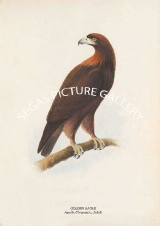 GOLDEN EAGLE - Aquila Chrysaeta